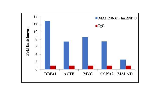 hnRNP U Antibody in RNA Immunoprecipitation (RIP)