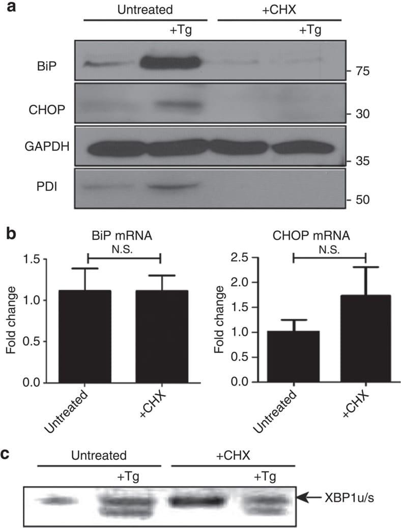 CHOP Antibody