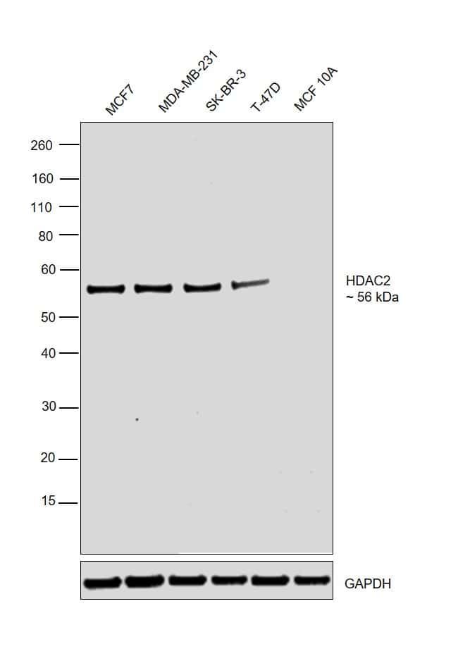 HDAC2 Antibody in Relative expression