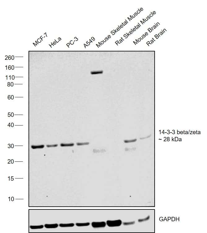 14-3-3 beta/zeta Antibody in Western Blot (WB)