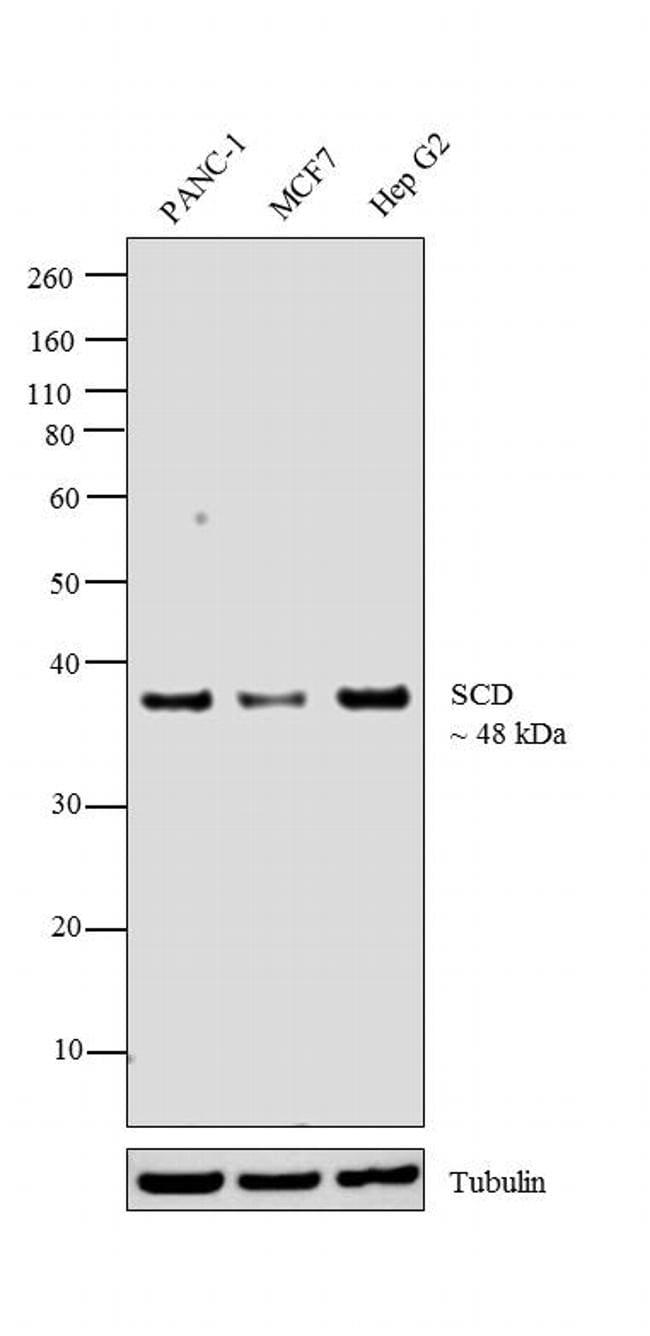 SCD Antibody in Western Blot (WB)