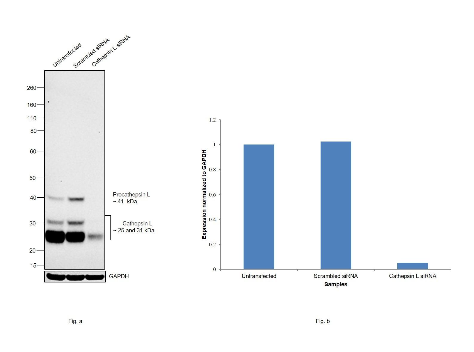 Cathepsin L Antibody