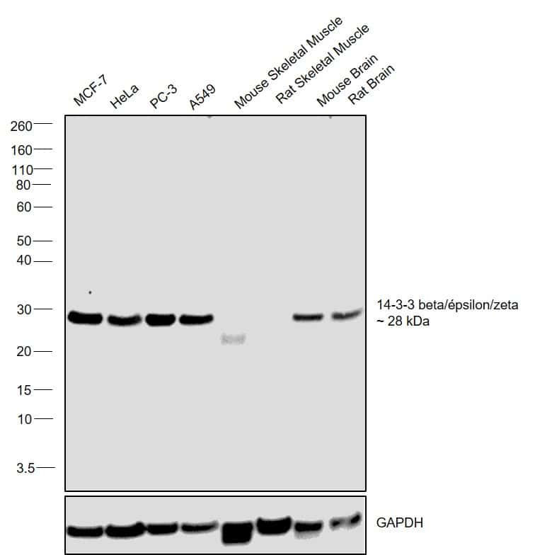 14-3-3 beta/epsilon/zeta Antibody in Relative expression