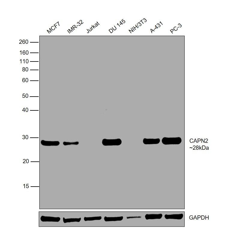 Calpain S1/S2 Antibody in Relative expression