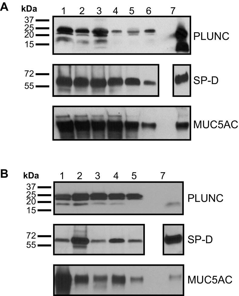MUC5AC Antibody