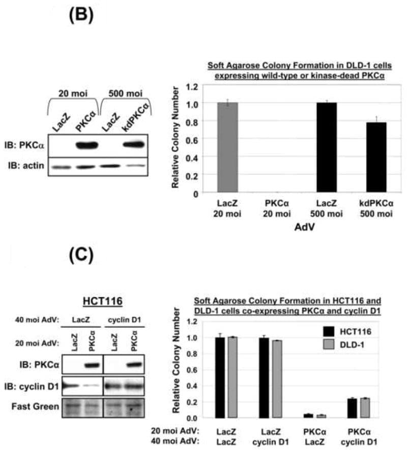 Cyclin D1 Antibody