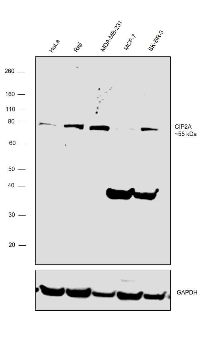 CIP2A Antibody in Relative expression