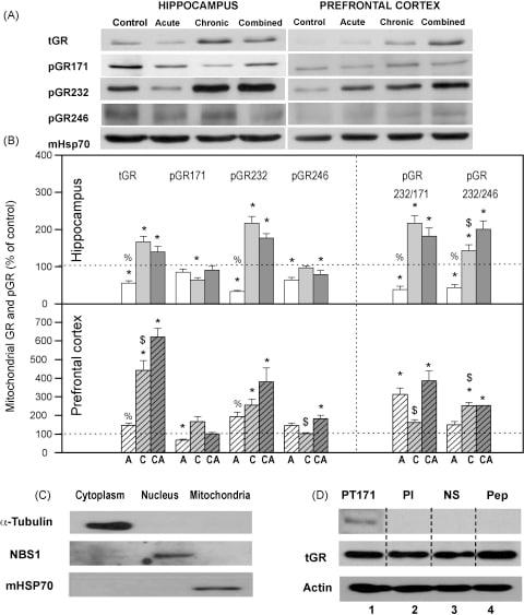 mtHSP70 Antibody