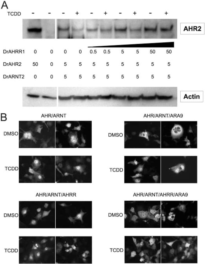 HIF-1 beta Antibody