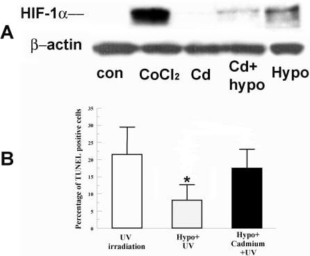 HIF1A Antibody