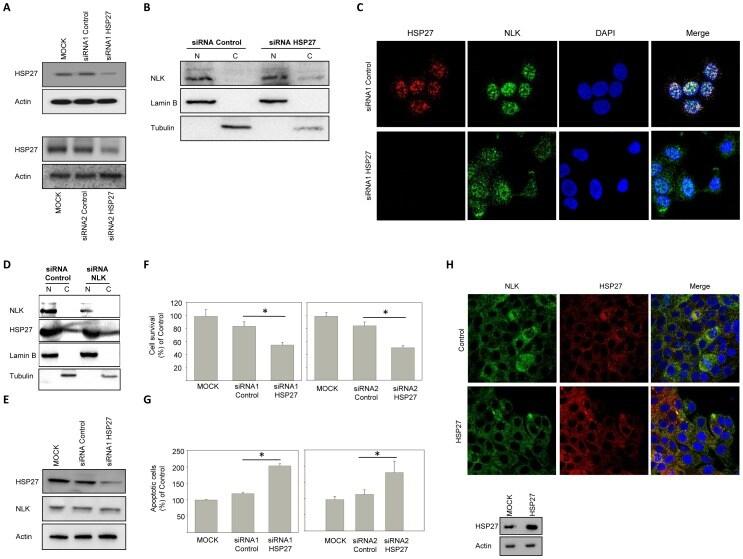 Lamin B1/B2 Antibody