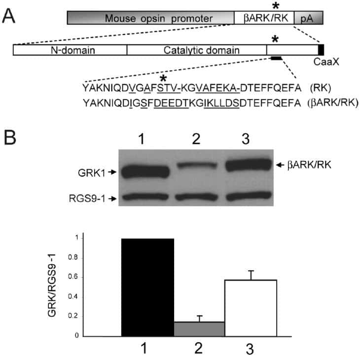 GRK1 Antibody
