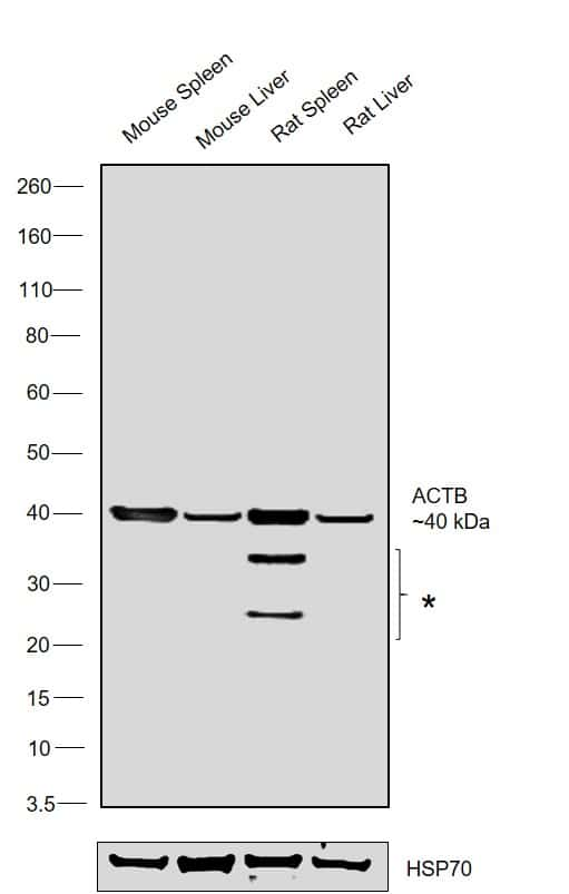 Actin Antibody in Relative expression