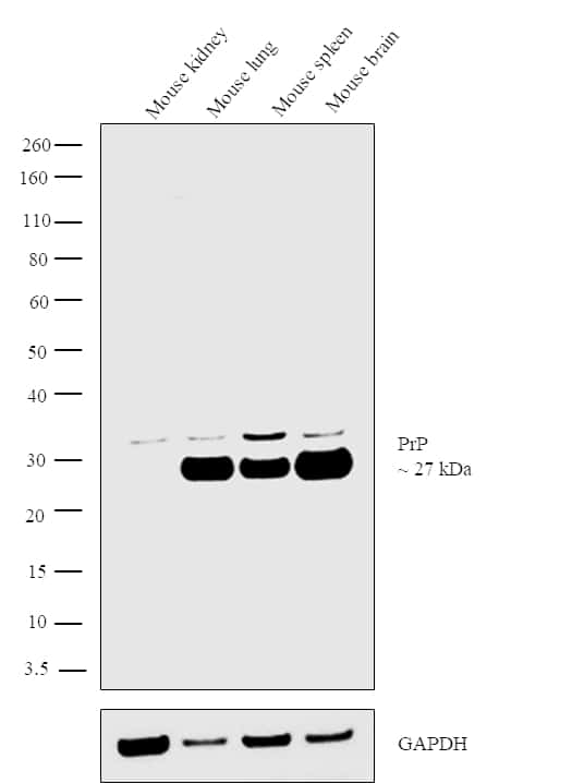 PrP Antibody in Relative expression