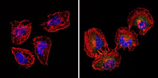 CD18 Antibody in Immunofluorescence (IF)