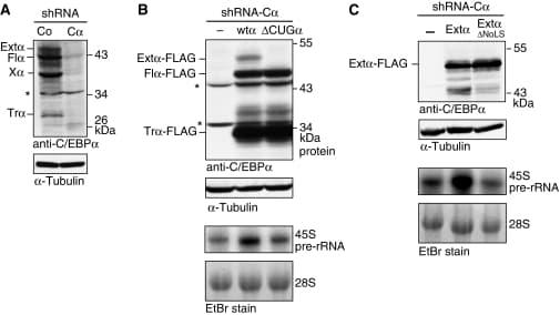 C/EBP alpha Antibody