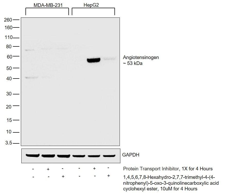 Angiotensin II Antibody in Relative expression