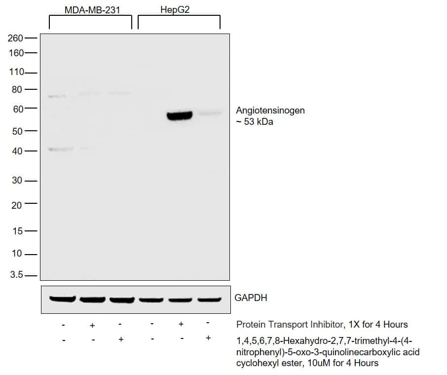 Angiotensin II Antibody in Western Blot (WB)