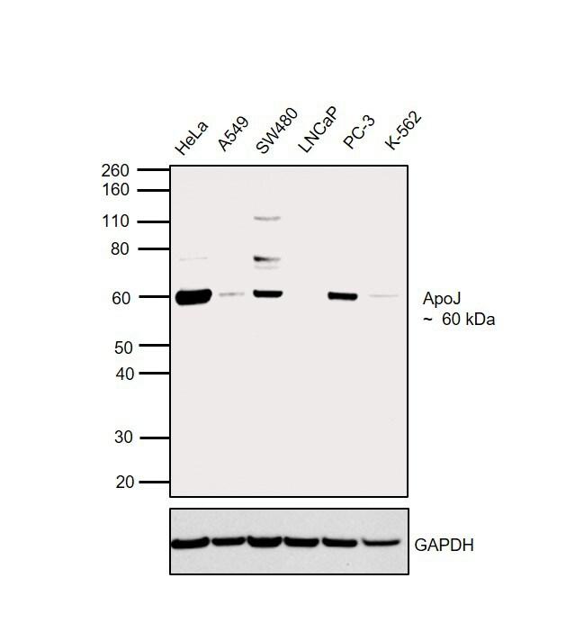Apolipoprotein J Antibody in Relative expression