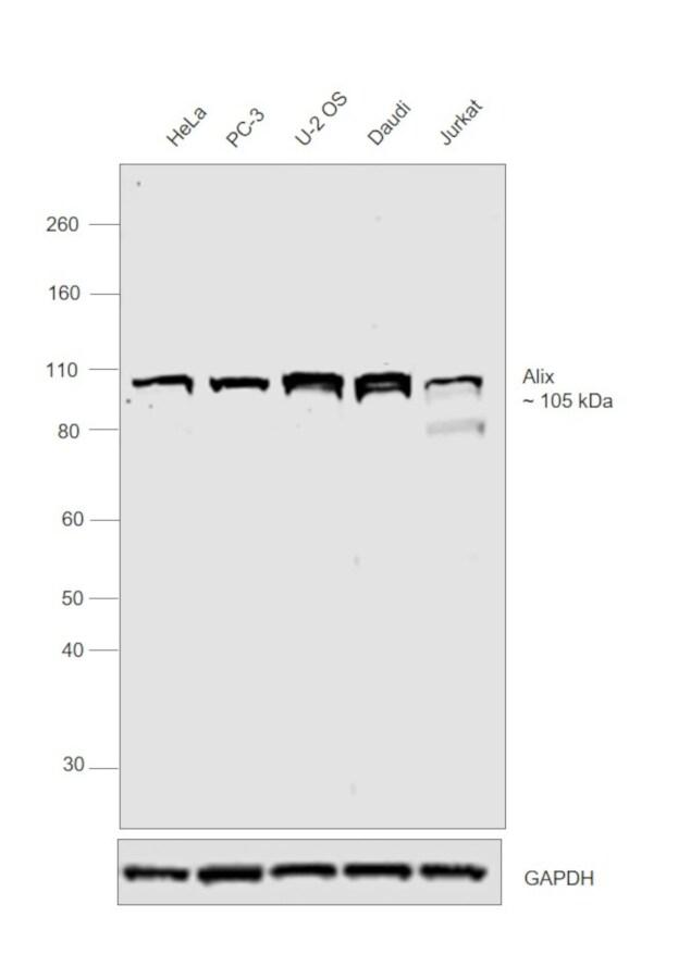 Alix Antibody in Western Blot (WB)
