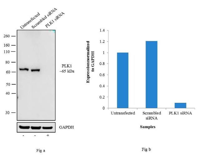 PLK1 Antibody in Knockdown