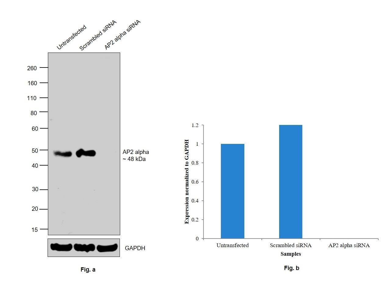 AP2 alpha Antibody in Western Blot (WB)