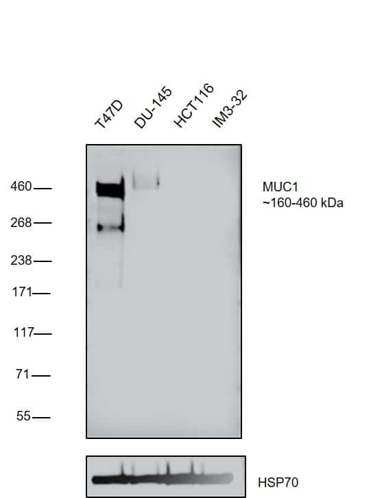 MUC1 Antibody in Relative expression
