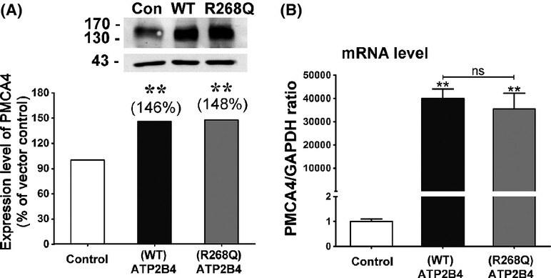 PMCA4 ATPase Antibody