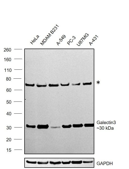 Galectin 3 Antibody in Western Blot (WB)