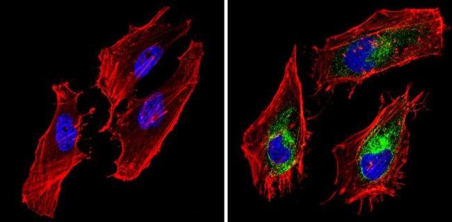 BAP31 Antibody in Immunofluorescence (IF)