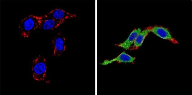 Endothelin 1 Antibody in Immunofluorescence (IF)