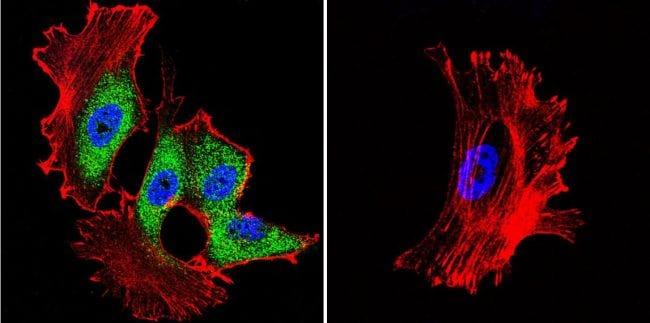 HSP70 Antibody in Immunofluorescence (IF)