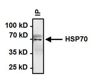 HSP70 Antibody in Immunoprecipitation (IP)