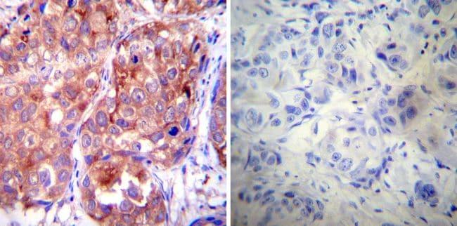 HSP90 alpha Antibody in Immunohistochemistry (Paraffin) (IHC (P))