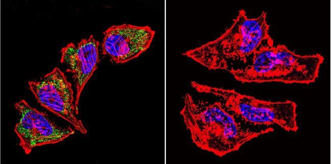 HSP60 Antibody in Immunofluorescence (IF)