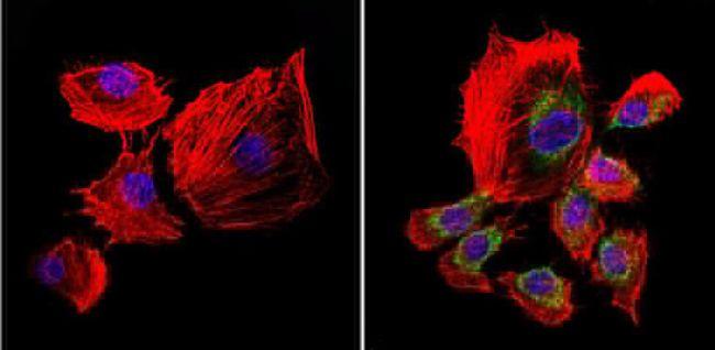 uNOS Antibody in Immunofluorescence (IF)