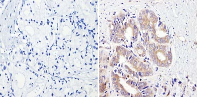 CYP3A7 Antibody in Immunohistochemistry (Paraffin) (IHC (P))