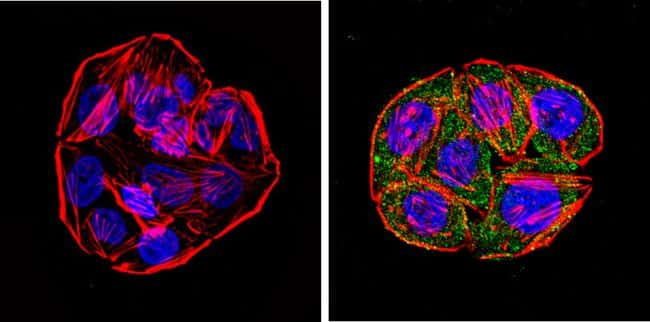 CYP1A1/CYP1A2 Antibody in Immunofluorescence (IF)