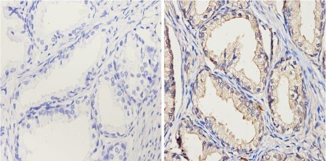 CYP1A1/CYP1A2 Antibody in Immunohistochemistry (Paraffin) (IHC (P))