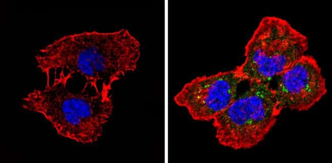 SPTBN1 Antibody in Immunofluorescence (IF)