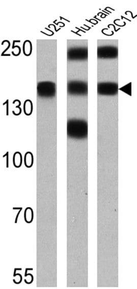 PMCA ATPase Antibody in Western Blot (WB)