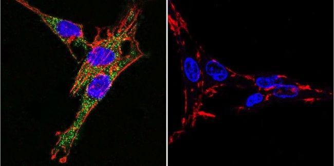 ATP1A3 Antibody in Immunofluorescence (IF)