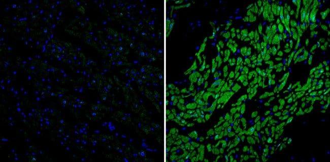 Phospholamban Antibody in Immunohistochemistry (Paraffin) (IHC (P))