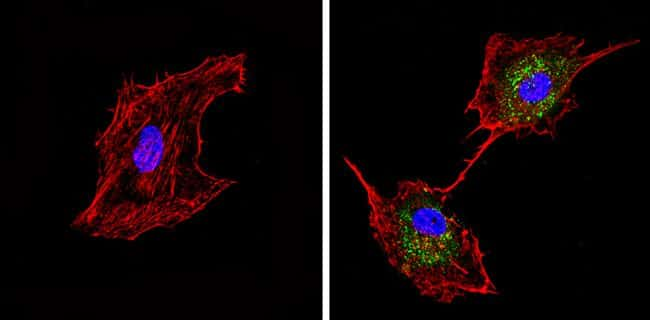 Synaptojanin 1 Antibody in Immunofluorescence (IF)