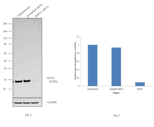BAP31 Antibody in Western Blot (WB)