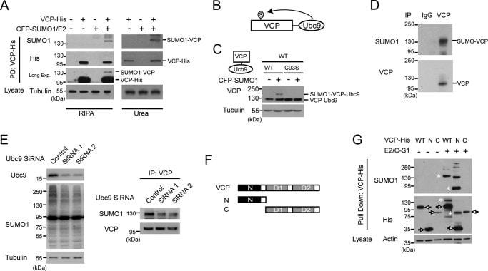 VCP Antibody