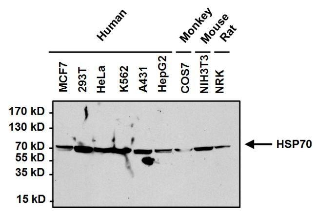 HSP70 Antibody in Western Blot (WB)