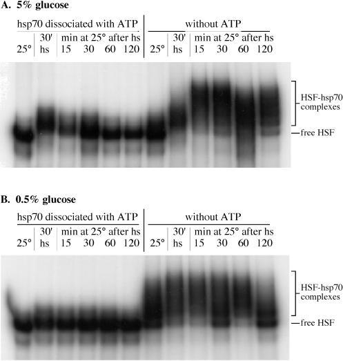 HSP70 Antibody