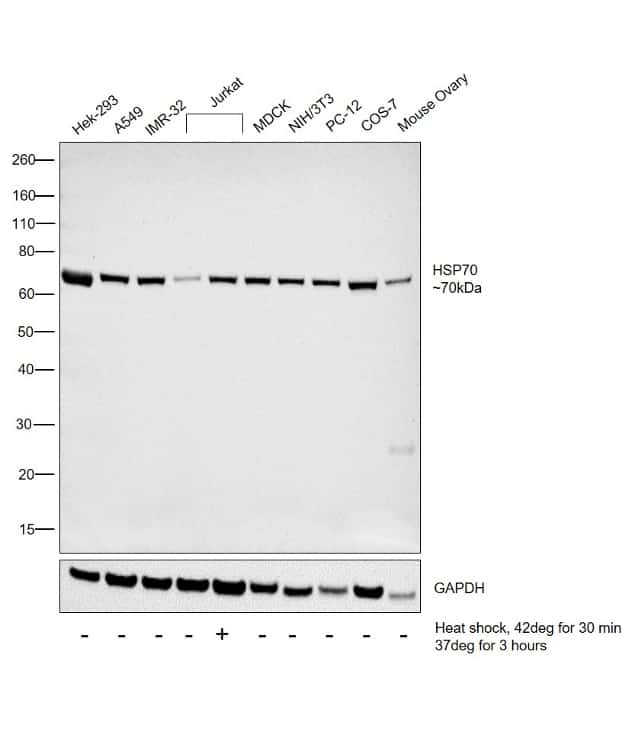 HSP70 Antibody in Cell Treatment