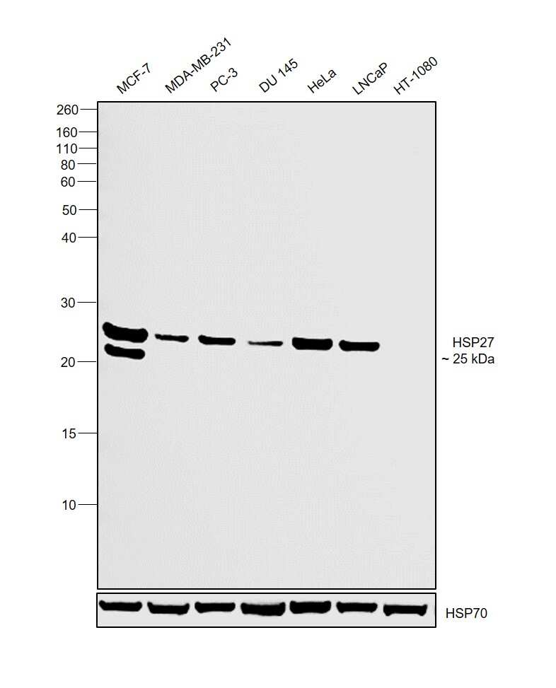 HSP27 Antibody in Western Blot (WB)